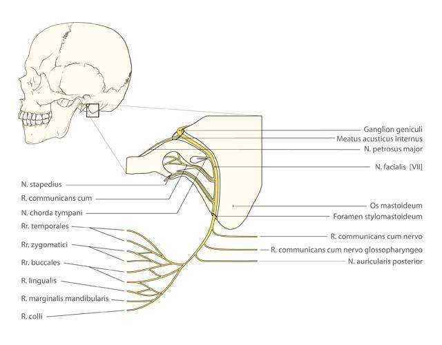 Verloop nervus facialis - Gautier Scientific Illustration